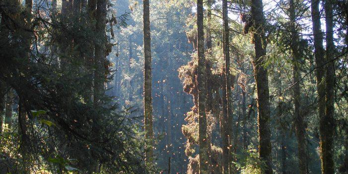 Persiste tala en reserva de la Mariposa Monarca